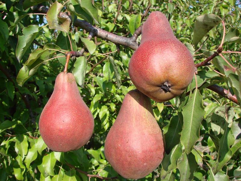 Сорт Левен созревает поздно осенью, отличается хорошей зимостойкостью и среднеустойчив к парше