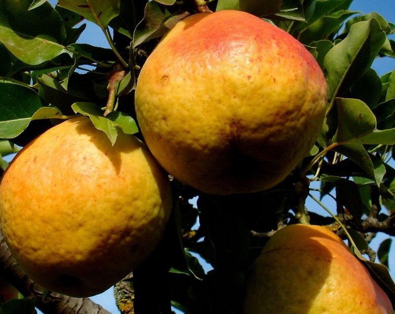 Плоды груши сорта Нарт отличаются крупными размерами