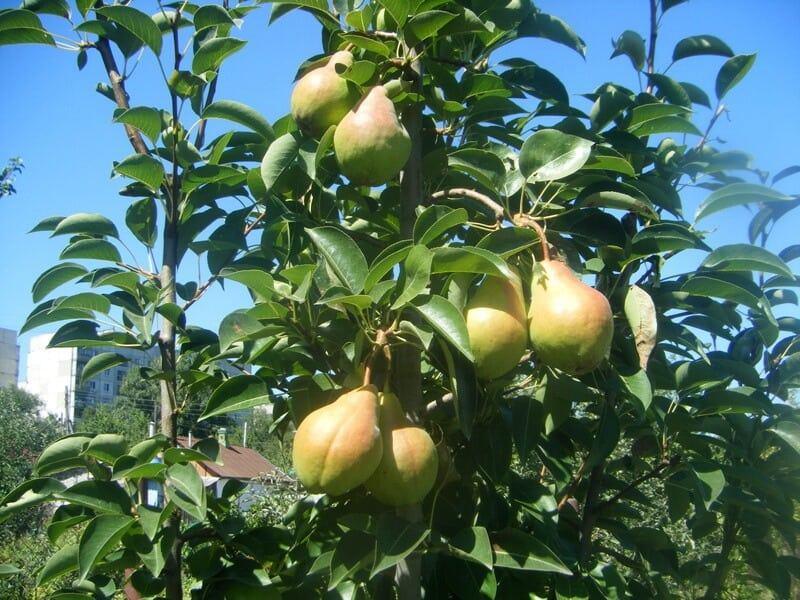 Сорт Вильямс плодоносит на 3-4 году жизни, однако урожайность зависит от условий возделывания.