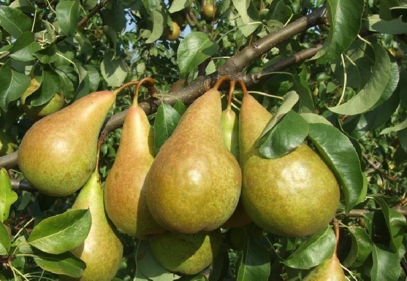 Сорт груш Бере Боск отличается крупными сладкими плодами с ореховым привкусом