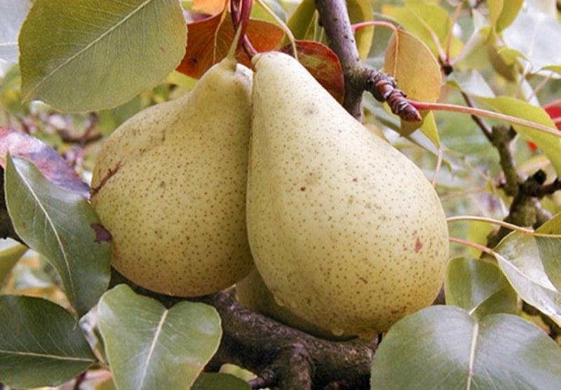 Сорт груш Кюре устойчив к болезням, дает высокий урожай
