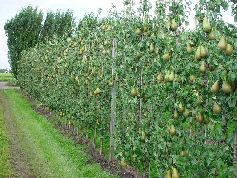 Сорт груши Декора можно использовать для создания живых изгородей
