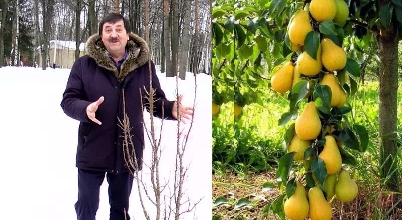 Создателем колоновидных груш является именитый селекционер Михаил Витальевич Качалкин