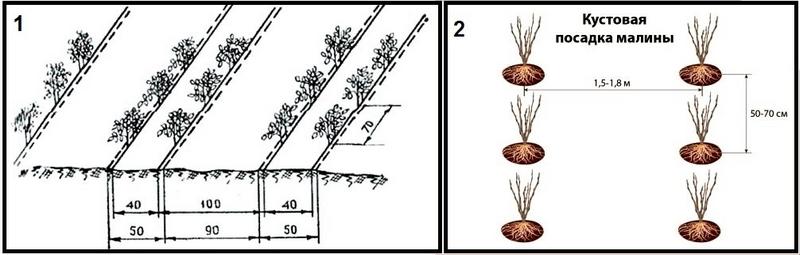 Способы посадки малины: 1-ленточный; 2- кустовой