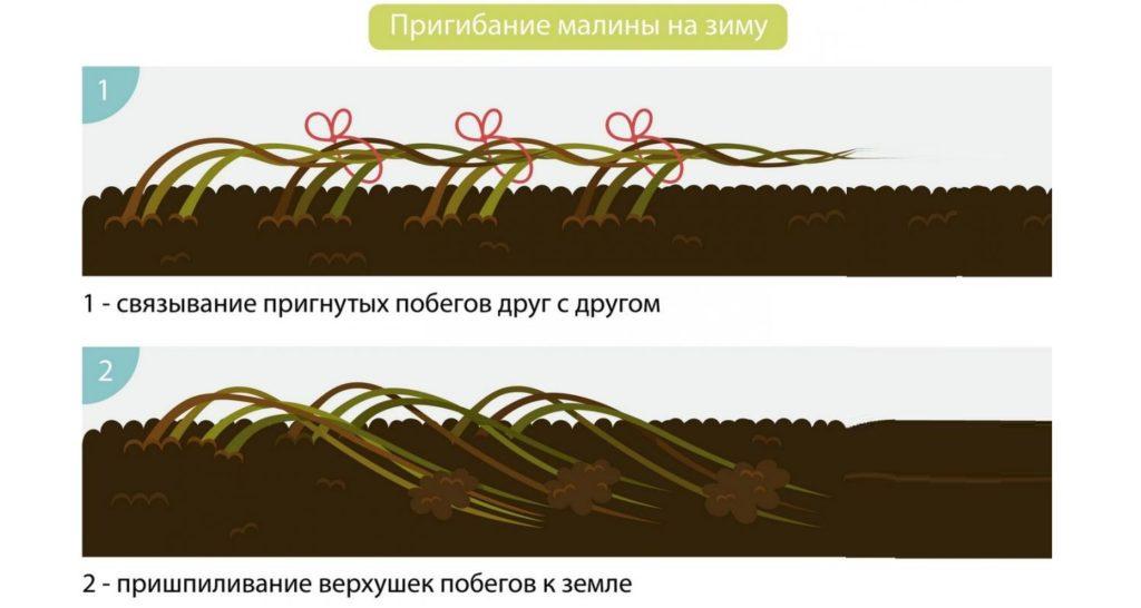 Способы пригибания малины на зиму