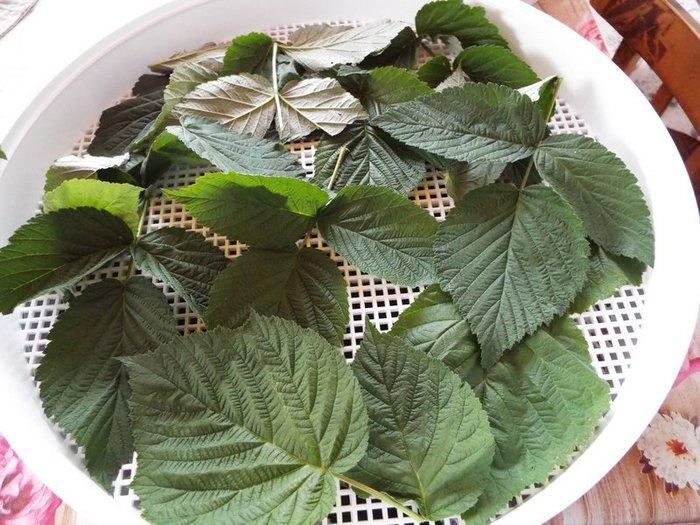 Сушат листья и побеги теми же способами, что и ягод