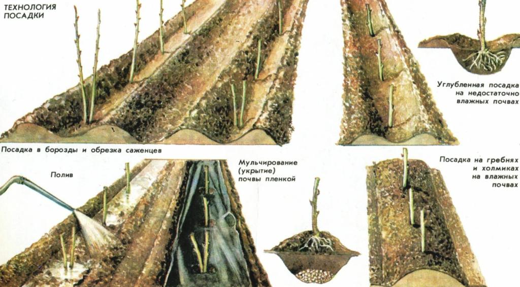 Технология посадки ремонтантной малины осенью