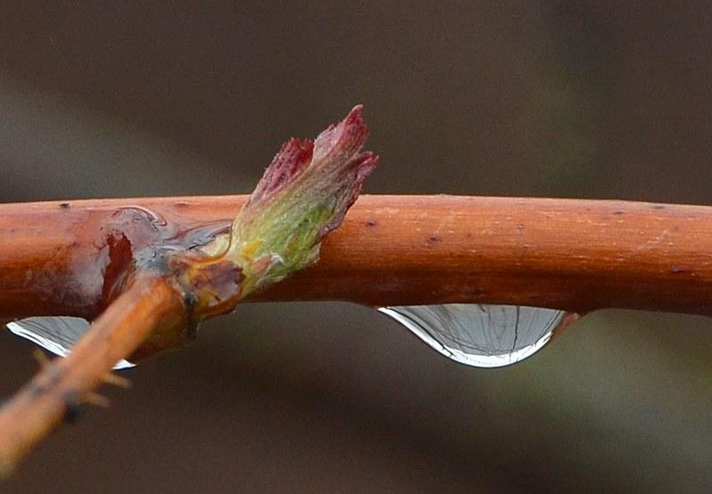 У основания стебля саженцев малины должны быть зеленые почки