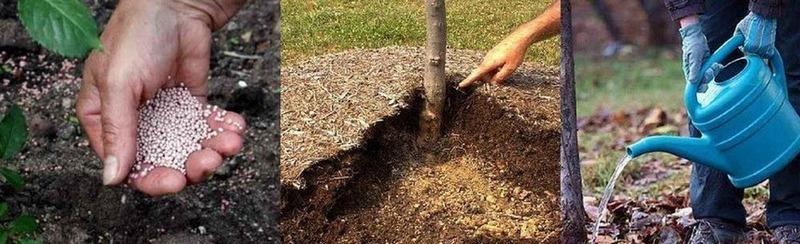 Внесение калийных удобрений необходимо молодым грушам для хорошего роста и развития