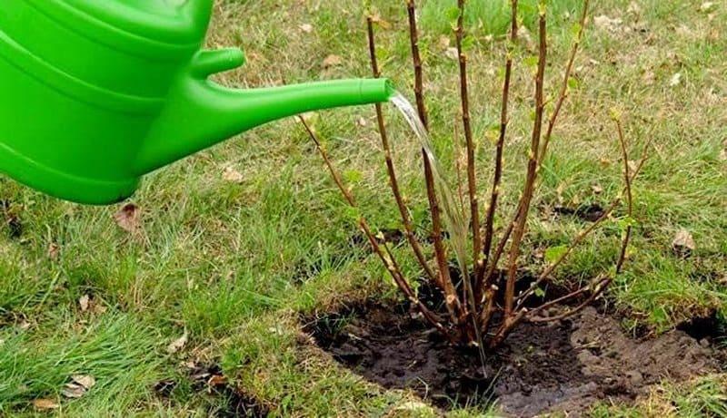 Впервые полить малину можно в конце весны
