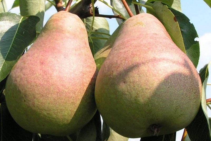 Выставочная груша обладает такими преимуществами как урожайность и зимостойкость