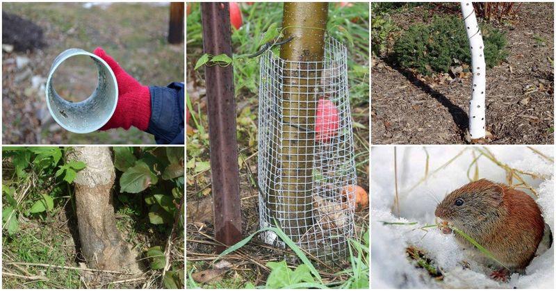 Защита деревьев от грызунов на зиму