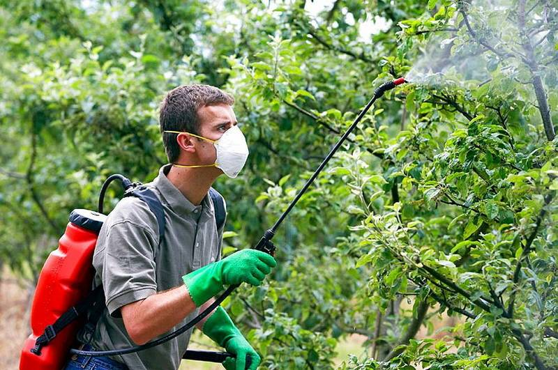 Защита груши от болезней включает обязательные опрыскивания фунгицидными препаратами