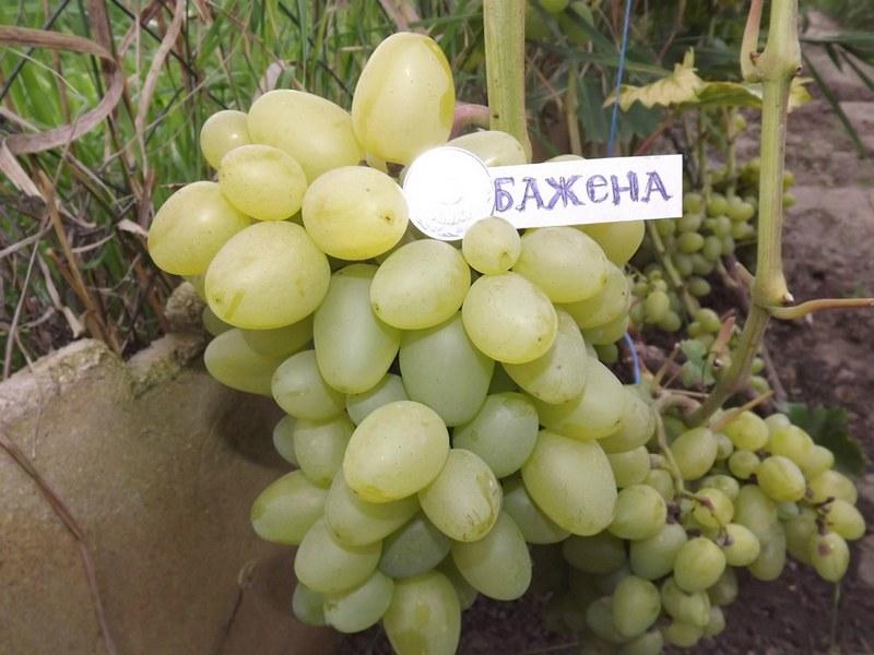 Бажена — столовый сорт винограда, выведенный селекционером-любителем