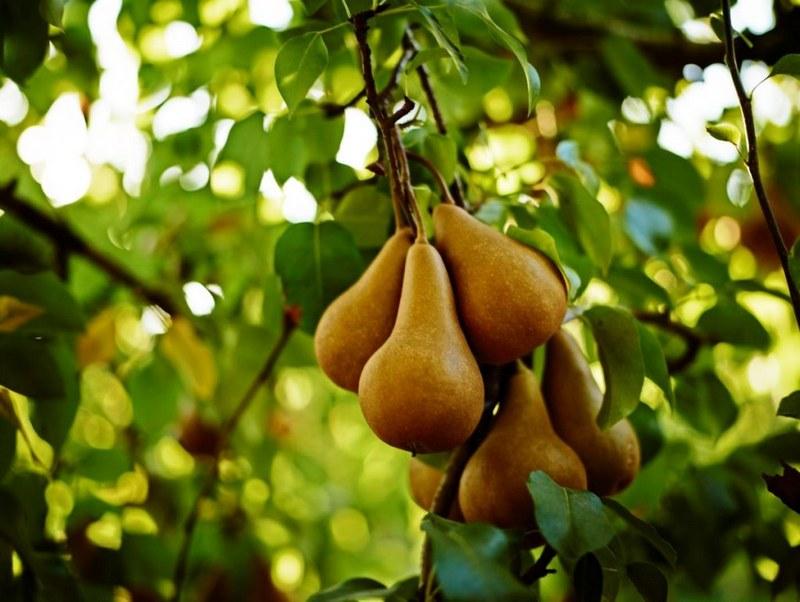 Бере Боск - популярный сорт груш родом из Франции