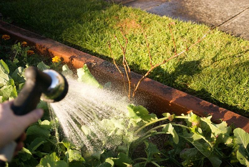 Частая схема полива предусматривает орошение винограда 1 раз в 2 недели