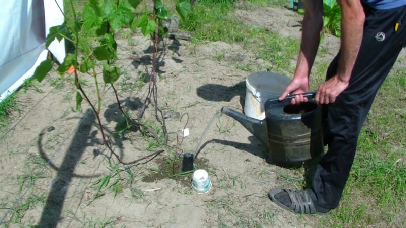 Частота полива винограда зависит от погодных условий и состояния почвы