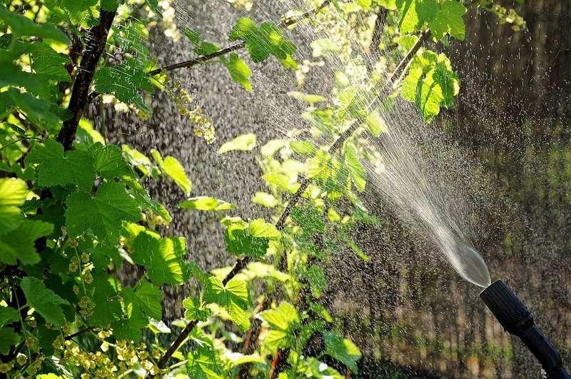Частота полива зависит от погодных условий и состояния грунта