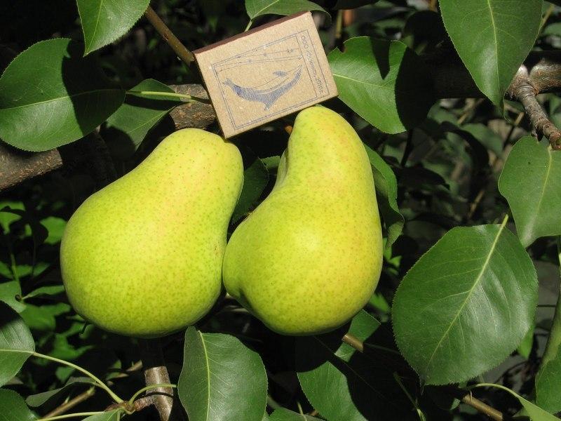 Чижовская — среднеспелый сорт груш, который был выведен путем гибридизации