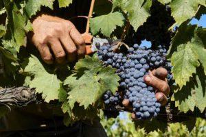 Чтобы снизить нагрузку с лозы, следует удалять слабые и недоразвитые грозди