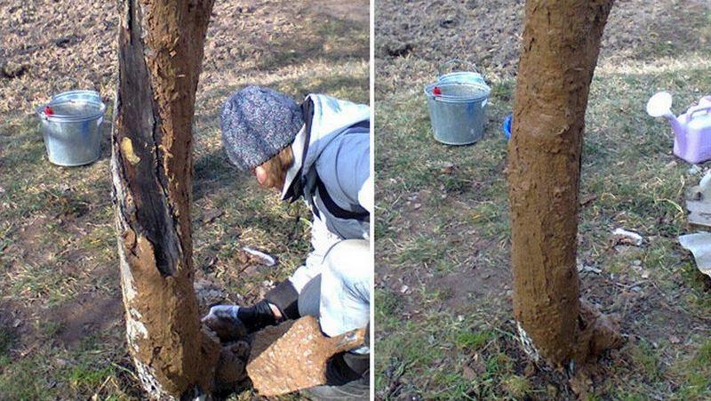 Чтобы защитить дерево от холода и грызунов, следует обмазать ствол смесью глины и навоза