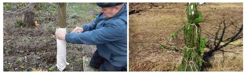 Чтобы защитить грушу от холодов, ствол дерева укутывают мешковиной и обкладывают еловыми ветвям