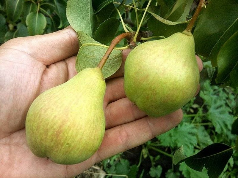 Cредний вес больших плодов достигает 180 - 200 грамм