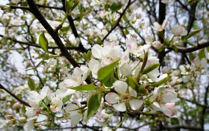 Дерево начинает цвести в конце мая-начале июня
