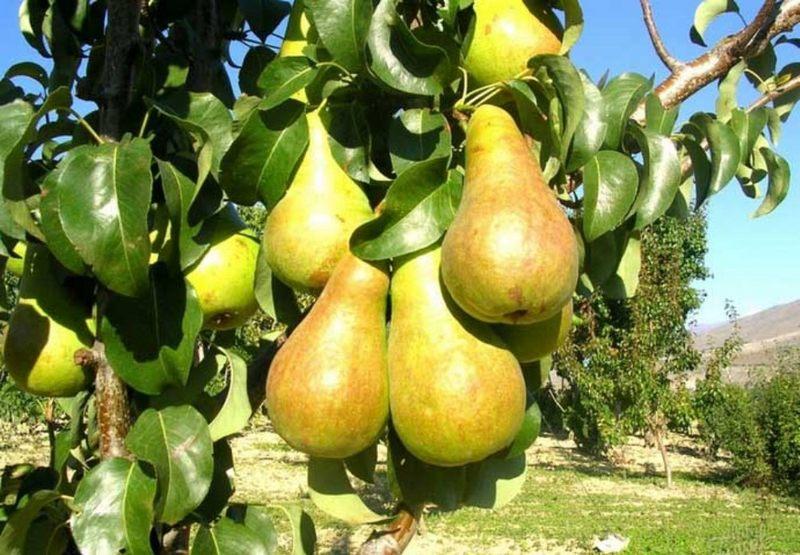 Деревце сорта груши Бере Боск - сильнорослое, отличающееся активным ростом в первые годы жизни