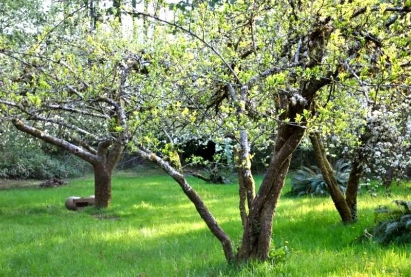 Деревья отличаются быстрым ростом и большой высотой