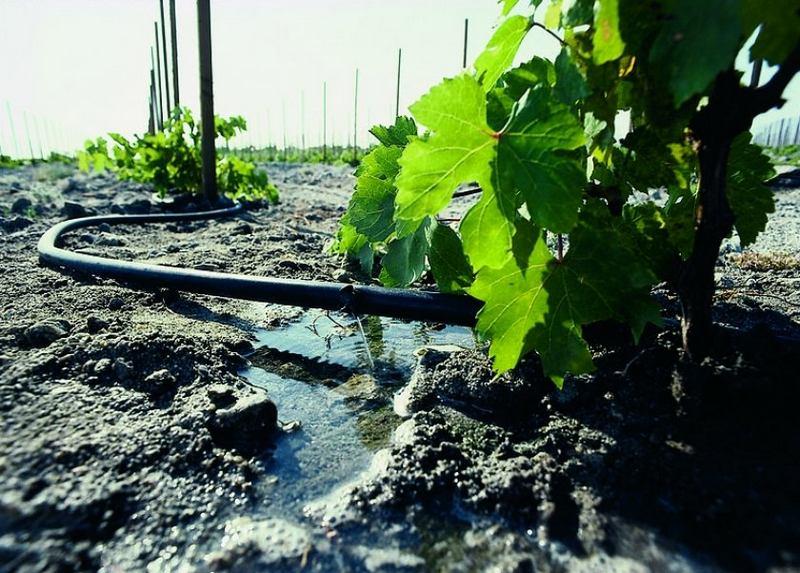 Для хорошего формирования завязей плодов винограду понадобится достаточное количество влаги