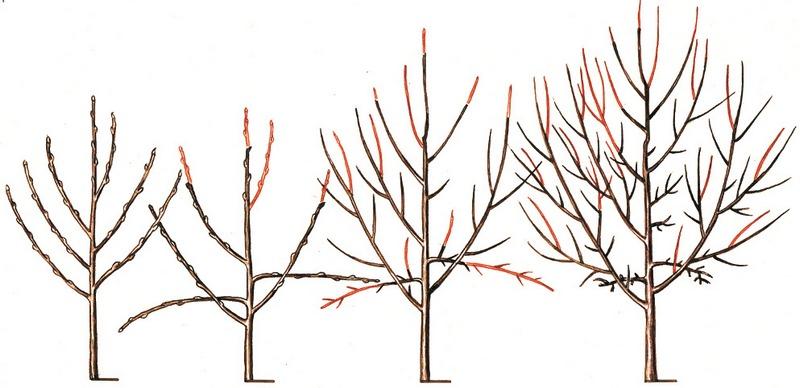 Для получения правильной формы крону дерева регулярно обрезают