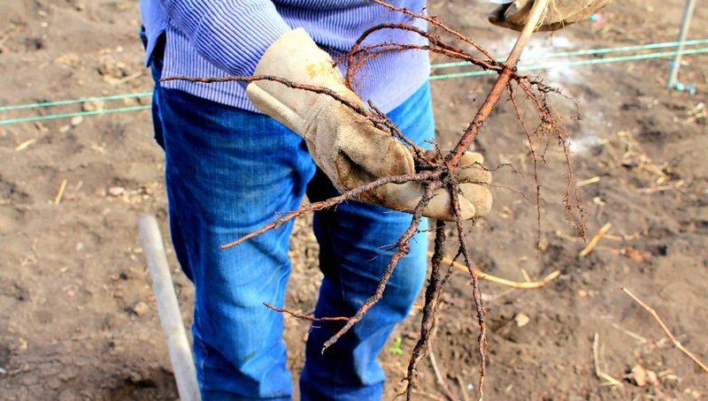 Для посадки следует выбирать здоровые растения, не имеющие наростов на корнях