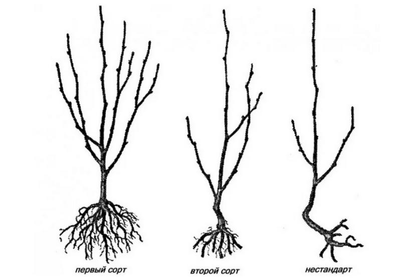 Для посадки следует выбрать крепкий саженец, с хорошо развитыми боковыми ветвями