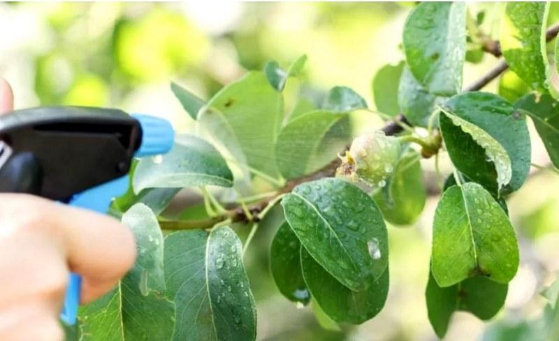 Для предотвращения нападений вредителей грушу опрыскивают инсектицидами согласно инструкции.