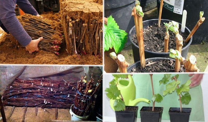 Для размножения винограда можно использовать черенки и саженцы