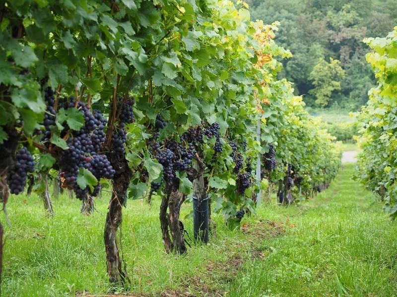 Для выращивания этого сорта винограда нужен большой участок