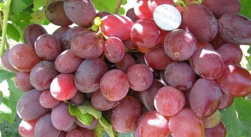 Для ягод характерен красно-фиолетовый оттенок