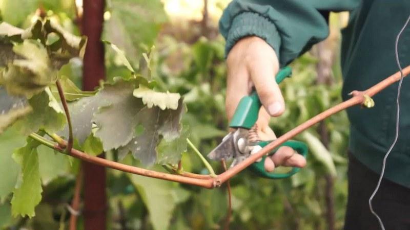 Для заготовки черенков, можно использовать осенние обрезки лозы винограда