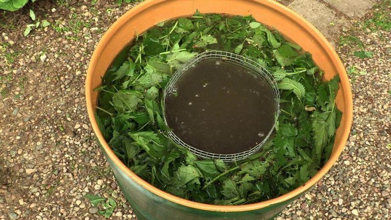До начала цветения виноград удобряют органическими удобрениями на основе куриного помета с листьями крапивы