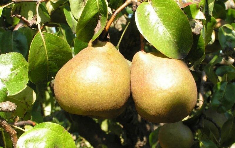 Достоинствами сорта являются высокая урожайность, морозостойкость и крупноплодность