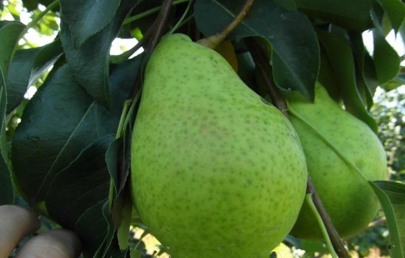 Если груша произрастает на плодородной, удобренной почве, то урожайность ее – стабильно высокая
