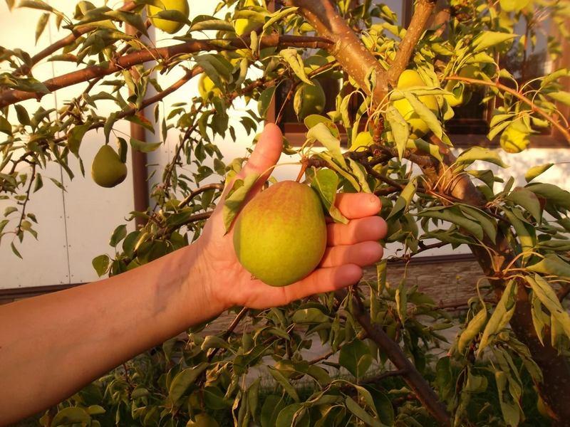 Феерия — высокоурожайный сорт груш
