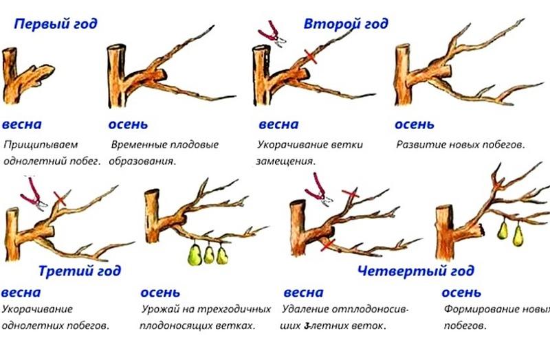 Схема обрезки груши в зависимости от возраста и сезона