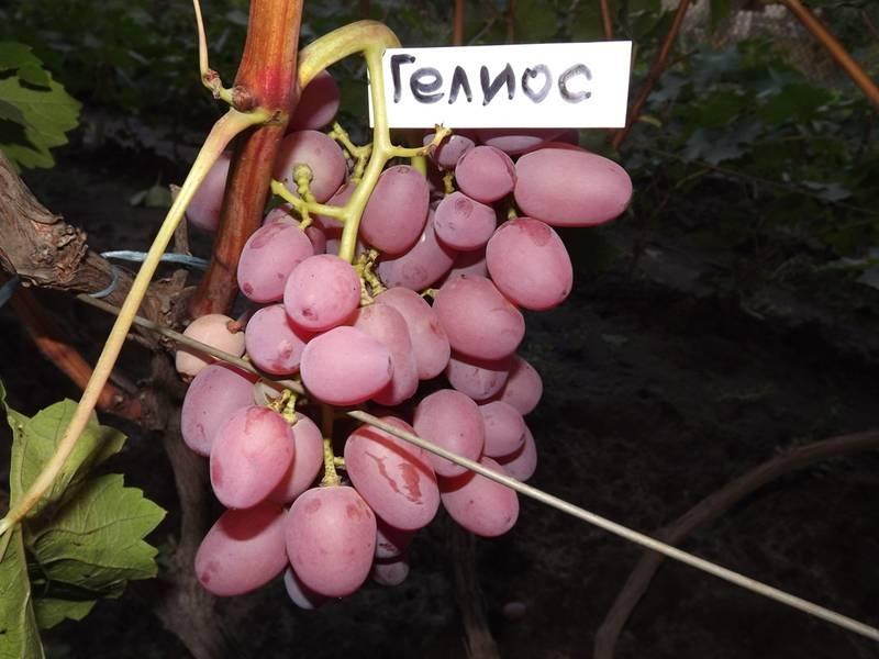 Гелиос - это один из лучших скороспелых сортов винограда