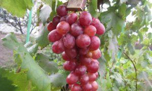 Ддостоинствами «Анюты» являются простота выращивания и высокие урожаи