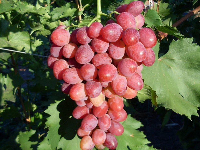 Грозди винограда имеют коническую форму