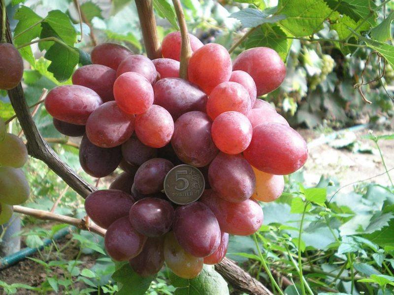 Грозди винограда крупные, цилиндро–конической формы