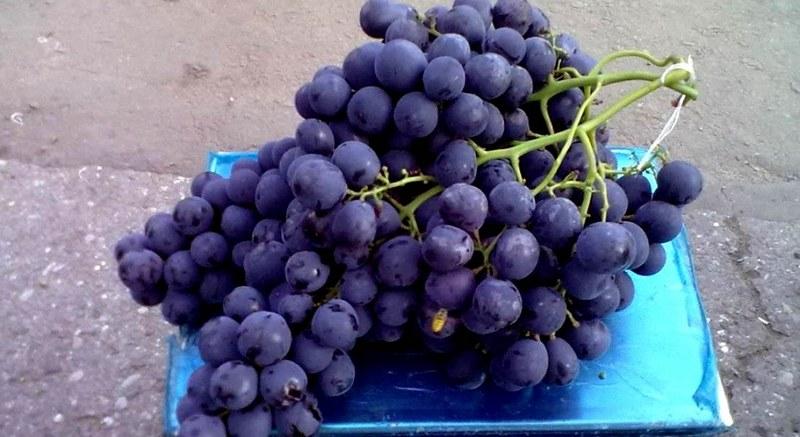 Грозди винограда очень крупные, весят в среднем от 700 г до 1,5 кг