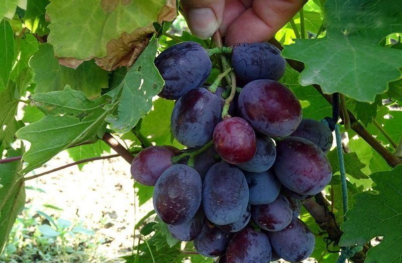 Гроздья у винограда крупные, имеют конусовидную форму